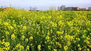 菜の花(多摩川河川敷)